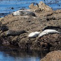 More lounging around by seals in Moss Cove.- Granite Point + Moss Cove Trails