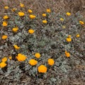 California poppies can be found nearby.- Granite Point + Moss Cove Trails