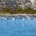 Flocks of elegant terns and other sea birds thrive in the Moss Landing area.- Monterey Bay