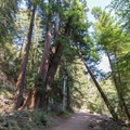 Leaning redwoods still grow strong.- Buzzard's Roost Trail