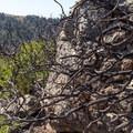 Charred manzanita bush.- Buzzard's Roost Trail