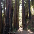 Large redwoods also survived the recent fire.- Buzzard's Roost Trail
