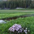A bunch of wildflowers growing in Kings Creek Meadow.- Kings Creek Meadow