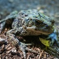A large western toad sits on the trail.- Ape Canyon to Plains of Abraham