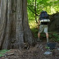 Hiking around a large tree on the way to Lilypad Lake.- Lilypad Lake Via Poison Canyon Trail