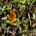 Butterfly feeding on the nectar of a flower.- Lilypad Lake Via Poison Canyon Trail