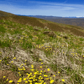 Wildflowers along the hike up the Umtanum Ridge Crest Trail.- Umtanum Ridge Crest Trail
