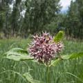 Showy milkweed (Asclepias speciosa) along the Wetland Loop Trail.- Wetland Loop Trail Hike