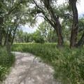 Wetland Loop Trail with plains cottonwood (Populus sargentii), Cherry Creek State Park.- Wetland Loop Trail Hike