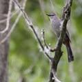 Gray catbird (Dumetella carolinensis) along the Wetland Loop Trail, Cherry Creek State Park.- Wetland Loop Trail Hike