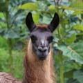An alpaca at Casa Mojanda.- Casa Mojanda