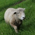 One of the sheep at Casa Mojanda.- Casa Mojanda