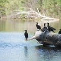 Double-crested Cormorants (Phalacrocorax auritus) on Eaglewatch Lake, South Platte Park.- South Platte Park
