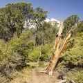 Juniper along the Green Mountain Trail in Black Canyon of the Gunnison National Park.- Green Mountain Trail + Exclamation Point
