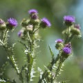 Scotch thistle (Onopordum acanthium) along a nature trail at the Discovery Pavilion and Audubon Center, Chatfield State Park.- Discovery Pavilion + Audubon Center