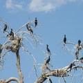 Double-crested Cormorants (Phalacrocorax auritus) at Duck Lake in City Park.- City Park