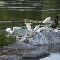 Cormorants and egrets on Ferril Lake, City Park.- City Park