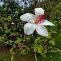 Colorful hibiscus welcome you to the gardens.- McBryde Garden