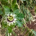 The flower of the lilikoi, or passionfruit plant.- McBryde Garden