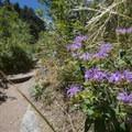 Horsemint (Monarda fistulosa var. menthaefolia) along the Arthur's Rock Trail.- Arthur's Rock Hike