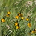 Prairie coneflower (Ratibida columnifera) at Soderberg Open Space.- Soderberg Open Space