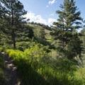 Ponderosa pine (Pinus ponderosa) grove along the Stout Trail.- Stout, Sawmill + Nomad Trail Loop