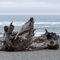 A large stump found a resting place on the beach.- Dry Lagoon Beach