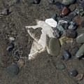 Broken sand dollar hidden under the sand.- Mad River County Beach