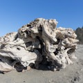 A large tree stump washed up on the beach.- Redwood Creek Beach + Picnic Area