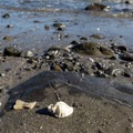 A sea shell rests among the rocks.- Old Home Beach