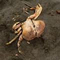 Crab carcass lying on the sand.- Wilson Creek Beach + Picnic Area
