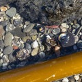 Three hermit crabs scurry around and battle.- McVay Rock Beach