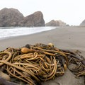 Bundle of bull kelp washed up on shore- Pistol River North Beach