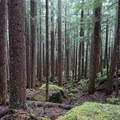 Beautiful old-growth forest.- Grand Pass Loop