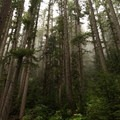Trees towering over the trail.- Grand Pass Loop