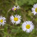 Wildflowers are abundant in the Chicago Basin.- Chicago Basin