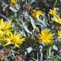 Broadleaf arnica (sunflower) in the Chicago Basin near Windom Peak.- Windom Peak