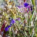 Bluebells in the Chicago Basin near Windom Peak.- Windom Peak