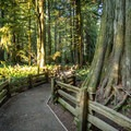 Walking trail through Cathedral Grove.- Cathedral Grove