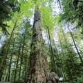 A large tree beside a living stump at Cathedral Grove.- Cathedral Grove