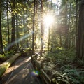 Evening sunlight pokes through the thick canopy at Cathedral Grove.- Cathedral Grove