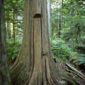 These notches were used by treefellers to hold planks on which they stood while cutting down trees.- Cathedral Grove
