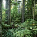 Beautiful forest at Cathedral Grove.- Cathedral Grove
