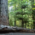 """The """"Big Tree"""" is over 80 meters tall and 9 meters around.- Cathedral Grove"""