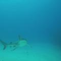 Reef shark.- Belize Barrier Reef System