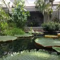 Massive lilypads display the spectacular ways in which plants have adapted to survive in bogs.- Brooklyn Botanic Garden
