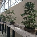 The bonsai exhibition displays several meticulously maintained trees along with an interpretive board explaining the care and culture of bonsai.- Brooklyn Botanic Garden