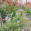 Asters bring a burst of color to the autumn garden.- The High Line