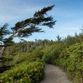 Krumholz trees lean away from the ocean due to a natural pruning process from strong winds carrying sand and salt.- Wild Pacific Trail, Lighthouse Loop