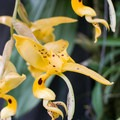 """This orchid is nicknamed """"the hummingbird orchid,"""" both because of its shape and because of its typical pollinators.- Finca Dracula"""